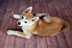 Free High Angel Of Akita Dog Royalty Free Stock Photography - 83566507