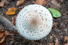 High angle close-up of a parasol mushroom Lepiota procera or Macrolepiota procera with autumn leaves and soil on the ground. Royalty Free Stock Photos