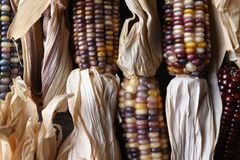 High angle closeup shot of a group of flint corn cobs with husks. High angle horizontal closeup shot of a group of flint corn cobs with husks. Also known as Stock Image