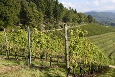 Durbach vineyards. High angle view across vineyards on a slope towards a Forest area , Durbach Ortenau Baden Germany Stock Photography