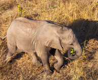 High angle view of baby elephant Royalty Free Stock Photography