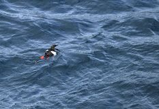 High angle view of a black guillemot on the water royalty free stock image
