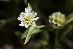 Carmel Daisy. High angle view at the Carmel Daisy, aka Lomelosia Prolifera, Scabiosa Prolifera Royalty Free Stock Photos