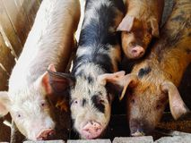Close up of different color pigs on a pig farm. High angle view close-up  of different color pigs on a pig farm stock photo