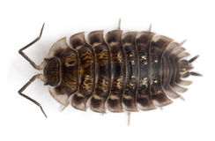 High angle view of Common woodlouse, Oniscus royalty free stock photography