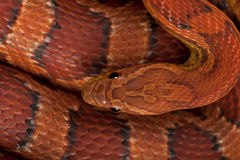 High angle view of corn snake or red rat snake Stock Image