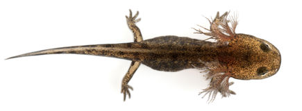 High angle view of Fire salamander larva royalty free stock photo