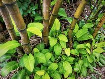 High Angle View of Bamboo in Green Plants Bush. High Angle View of Fresh Bamboo in Green Plants Bush royalty free stock photography