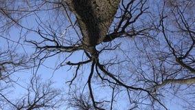 High Angle of View of Giant Trees. Blue Sky. 4K UltraHD, UHD. High  Angle of View of Giant Trees. Blue Sky 4K UltraHD, UHD stock video
