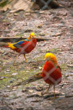 High Angle View Of Golden Pheasant In Cage at zoo Stock Image
