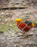 High Angle View Of Golden Pheasant In Cage at zoo Royalty Free Stock Photo