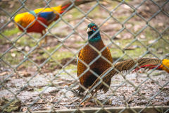 High Angle View Of Golden Pheasant In Cage at zoo Stock Images