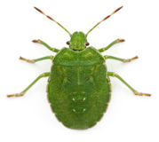 High angle view of a Green shield bug Stock Photo