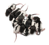 High angle view of a group of Fancy rats babies Stock Images