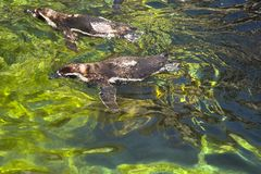 High angle view of Humboldt penguins (Spheniscus Humboldt) swimm Royalty Free Stock Images