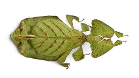 High angle view of Leaf insect, standing Stock Photos
