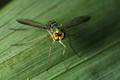 High Angle View - Long Legged Fly Stock Image