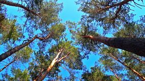 High angle view looking to the tops of pine trees stock video footage