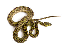High angle view of Morelia spilota variegata. A subspecies of python, against white background Royalty Free Stock Images
