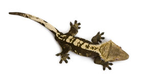 High angle view of New Caledonian Crested Gecko Royalty Free Stock Image