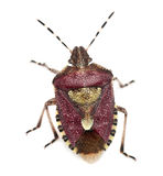 High angle view of Shield bug royalty free stock photography