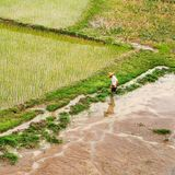 High angle view on a worker in a green rice field, Hainan, China Royalty Free Stock Image