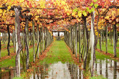 High Autumn Vines. The vines of Saint Clair Family Estate, Blenheim, New Zealand Royalty Free Stock Photos