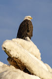 On High. Bald eagle looks out from an icy perch Stock Photo
