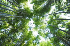 High bamboo Royalty Free Stock Photos