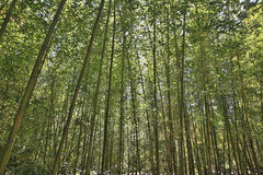 High Bamboo forest Stock Photo