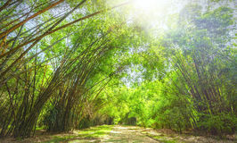 High bamboo forest Royalty Free Stock Photo