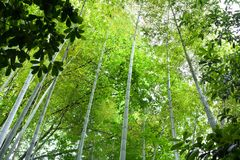 High bamboo trees in a green bamboo forest background texture royalty free stock image