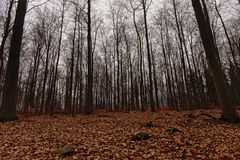 High bare trees in a deciduous forest in Belgian Ardennes. High bare trees and ground covered with dry brown leafsin a forest in Belgian Ardennes, Liege, Belgium royalty free stock images