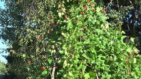High bean legume plants bush with red blooms and pods growing in farm. Tilt up. 4K. High bean legume plants bush with red blooms and pods growing in farm on stock video footage