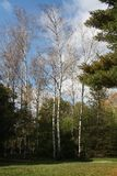 High birches Stock Images