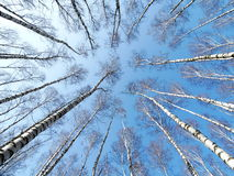 High birches in the spring. High birch spring nature forest trees branches height sky Royalty Free Stock Images