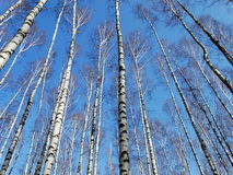 High birches in the spring. High birch spring nature forest trees branches height sky Stock Photography