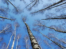 High birches in the spring. High birch spring nature forest trees branches height sky Royalty Free Stock Photos