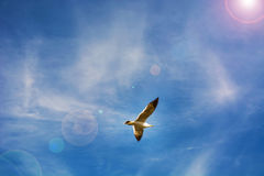 High blue sky flying white seagulls hovering over the sea. Royalty Free Stock Photo