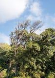 High branch tree with the lichen Usnea exasperata. Stock Image