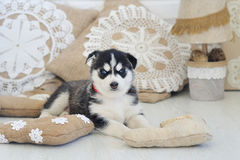 High bred adorable Siberian Husky. In lace and linen handmade home decorations Royalty Free Stock Image