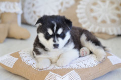 High bred adorable Siberian Husky. In lace and linen handmade home decorations Stock Image