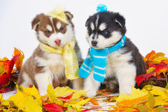 High bred adorable Siberian Husky Royalty Free Stock Photography