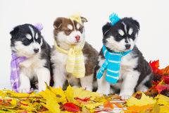 High bred adorable Siberian Husky Stock Photo
