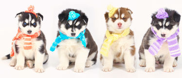 High bred adorable Siberian Husky Stock Image