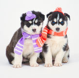 High bred adorable Siberian Husky Royalty Free Stock Photo