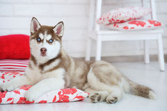 High bred adorable Siberian Husky puppy. As the sweetest present Royalty Free Stock Image