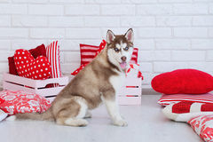 High bred adorable Siberian Husky puppy. As the sweetest present Stock Image