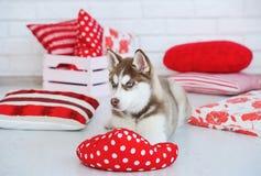 High bred adorable Siberian Husky puppy Stock Photo
