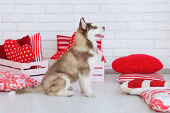 High bred adorable Siberian Husky puppy Royalty Free Stock Photo
